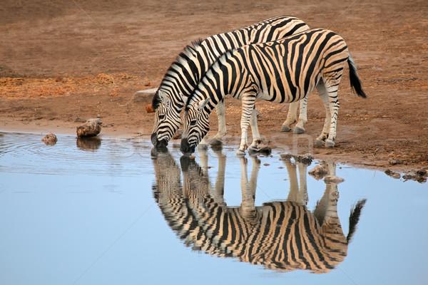 平野 シマウマ 飲料水 2 公園 ナミビア ストックフォト © EcoPic