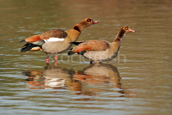 Egyptian geese Stock photo © EcoPic