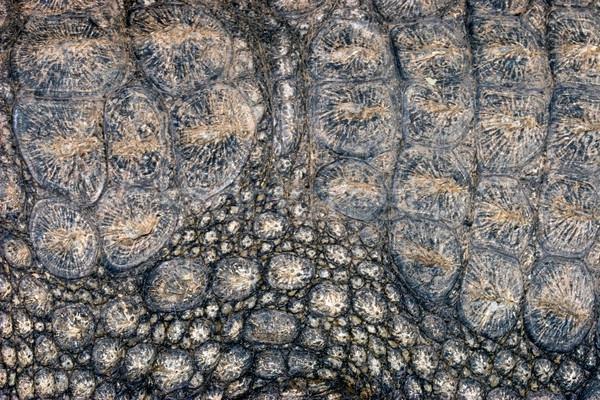 крокодила кожи грубо южный Африка Сток-фото © EcoPic