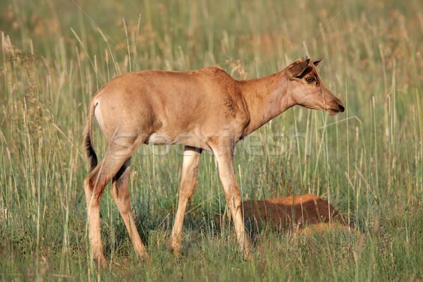Fiatal Dél-Afrika fű Afrika állat szafari Stock fotó © EcoPic