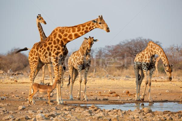 Giraffe herd at waterhole Stock photo © EcoPic