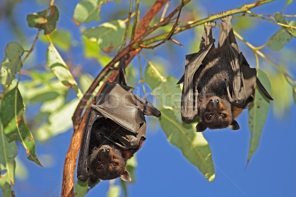 Black flying-foxes Stock photo © EcoPic