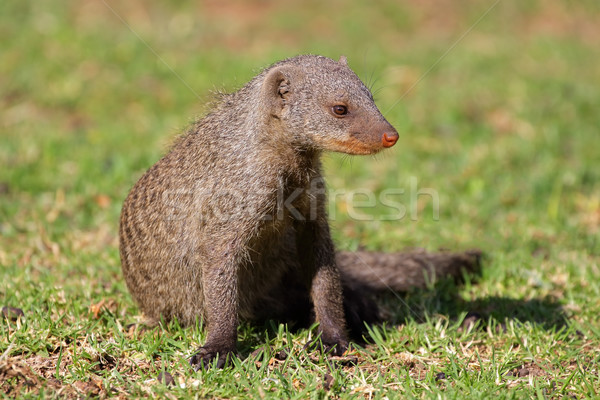 Banded mongoose Stock photo © EcoPic