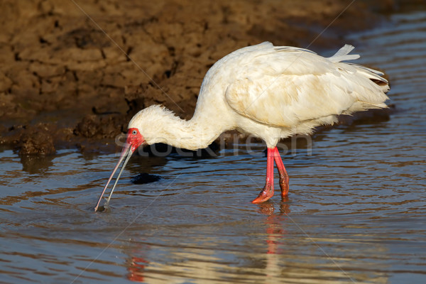 African spoonbill Stock photo © EcoPic
