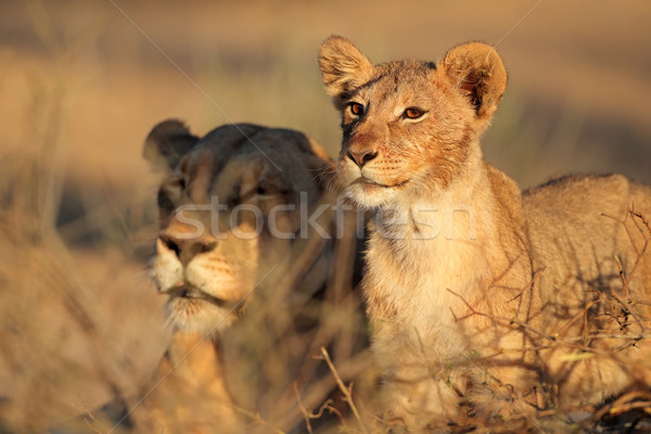 African lioness and cub Stock photo © EcoPic