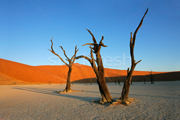 Tree and dune Stock photo © EcoPic