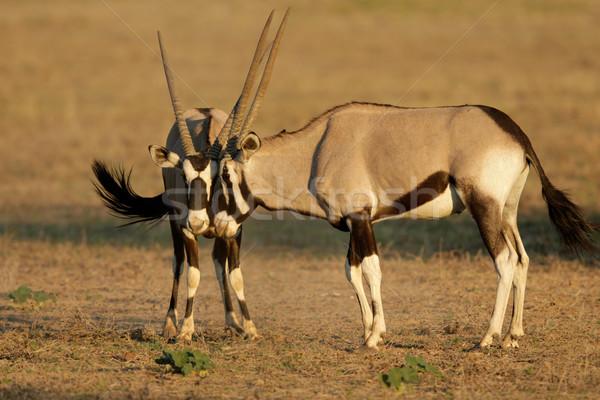 Fighting Gemsbok Stock photo © EcoPic