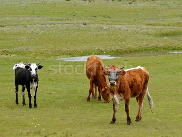 Grazing cattle Stock photo © EcoPic