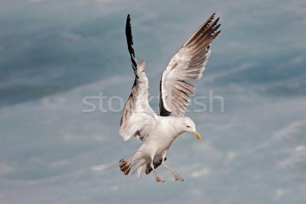 Kelp gull in flight Stock photo © EcoPic