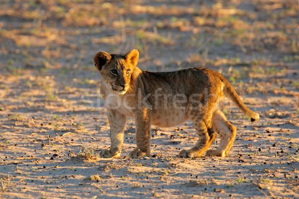 小 ライオン カブ 早朝 光 砂漠 ストックフォト © EcoPic