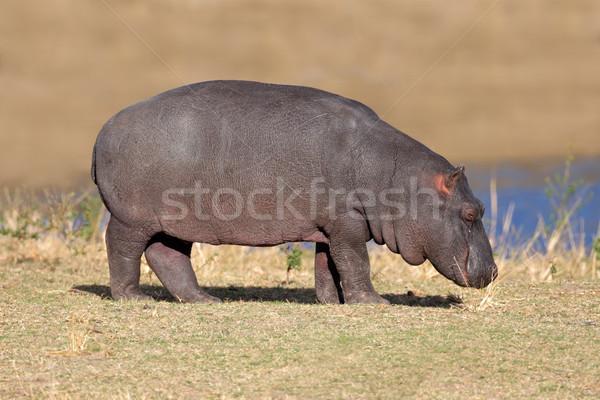 Young hippopotamus Stock photo © EcoPic