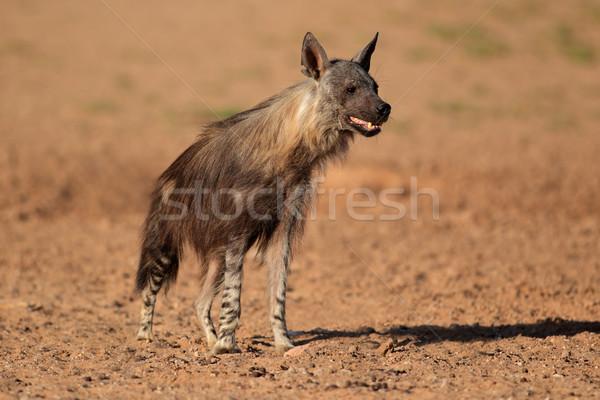 Brown hyena Stock photo © EcoPic