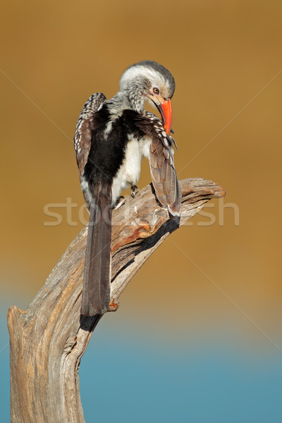 Red-billed hornbill Stock photo © EcoPic
