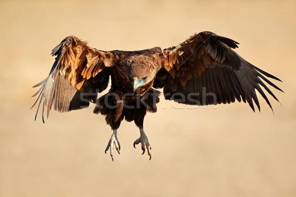Orzeł lotu niedojrzały Południowej Afryki charakter ptaków Zdjęcia stock © EcoPic