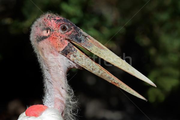 Leylek portre Güney Afrika göz kuş Afrika Stok fotoğraf © EcoPic