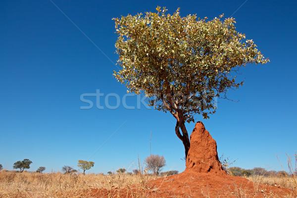 Drzewo bielec krajobraz Błękitne niebo południowy Afryki Zdjęcia stock © EcoPic