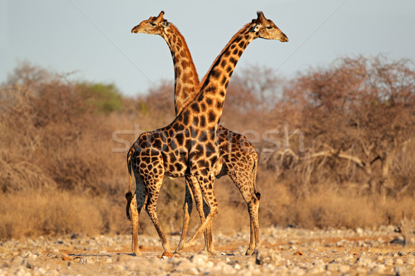 Giraffe bulls Stock photo © EcoPic