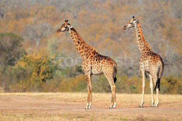 Giraffes Stock photo © EcoPic