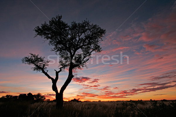 Acacia tree silhouette Stock photo © EcoPic
