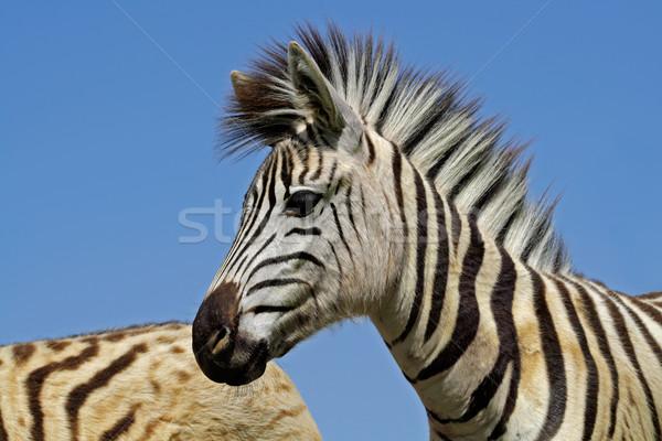 Plains Zebra portrait Stock photo © EcoPic