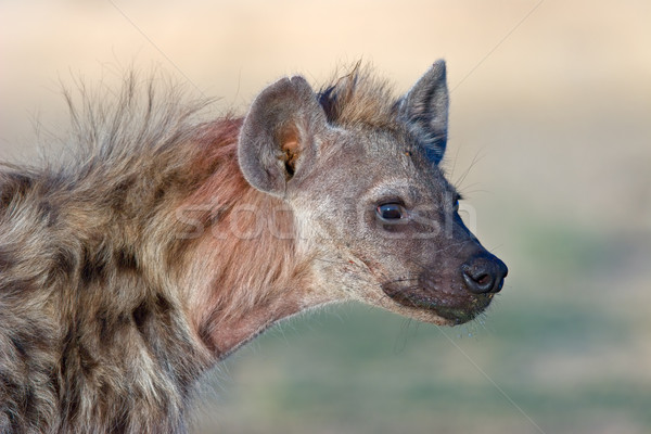 Spotted hyena portrait Stock photo © EcoPic