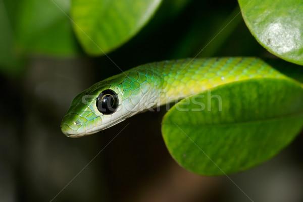Eastern green snake  Stock photo © EcoPic