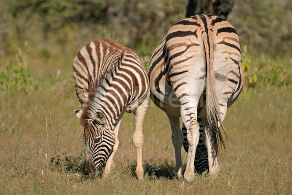平野 シマウマ シマウマ 雌馬 子馬 公園 ストックフォト © EcoPic