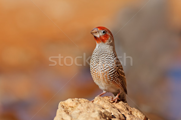 Male red-headed finch Stock photo © EcoPic