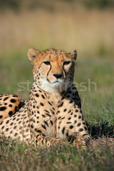 Cheetah gras South Africa natuur mond dier Stockfoto © EcoPic