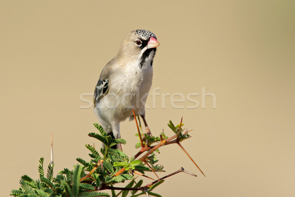 Scaly-feathered finch Stock photo © EcoPic