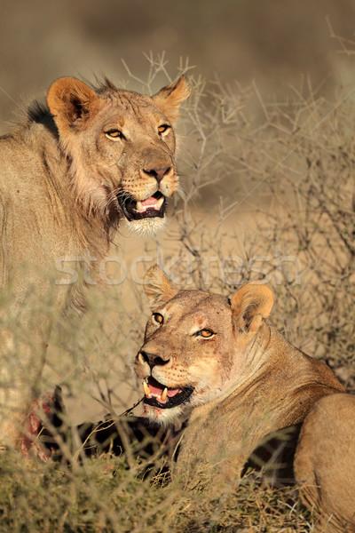 Сток-фото: портрет · два · африканских · пустыне · ЮАР