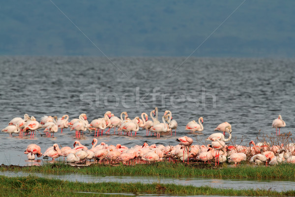 Flamingos on Lake Nakuru Stock photo © EcoPic