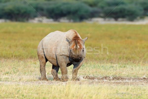 черный носорог ЮАР природы животного африканских Сток-фото © EcoPic