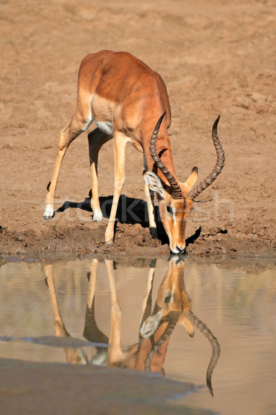 Impala antelope drinking water Stock photo © EcoPic