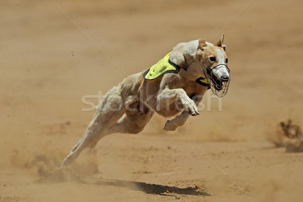 Galgo completo acelerar esportes pé correr Foto stock © EcoPic