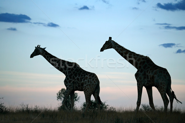 Giraffe silhouettes Stock photo © EcoPic