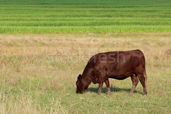 Grazing cow Stock photo © EcoPic