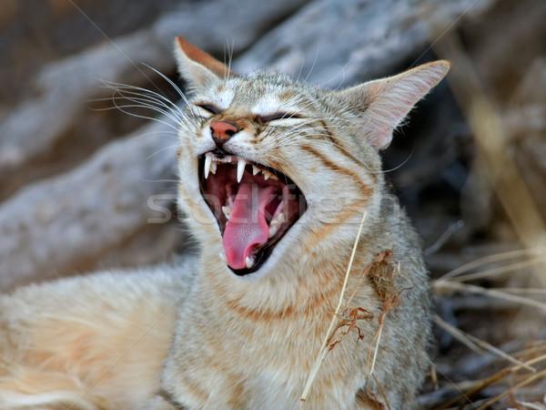 African wild cat Stock photo © EcoPic