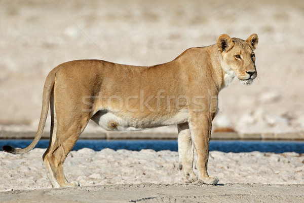 Lioness at a waterhole Stock photo © EcoPic
