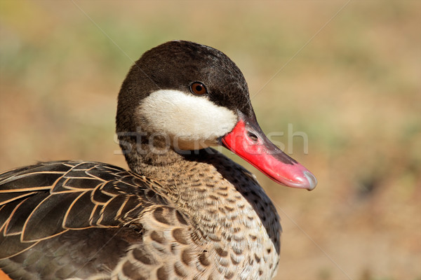 Red-billed teal Stock photo © EcoPic