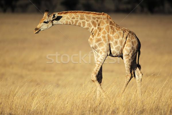 Giraffe in open grassland Stock photo © EcoPic