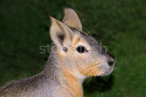 Portret natuur dier bont cute natuurlijke Stockfoto © EcoPic