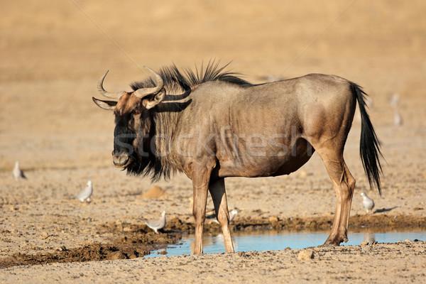 Blue wildebeest at waterhole Stock photo © EcoPic