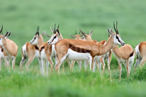 Springbok antelopes Stock photo © EcoPic