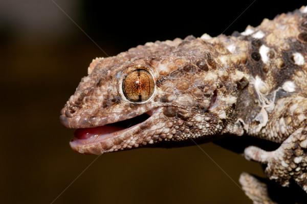 Gekko portret woestijn South Africa natuur mond Stockfoto © EcoPic