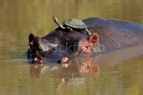 Hippopotamus and terrapin Stock photo © EcoPic
