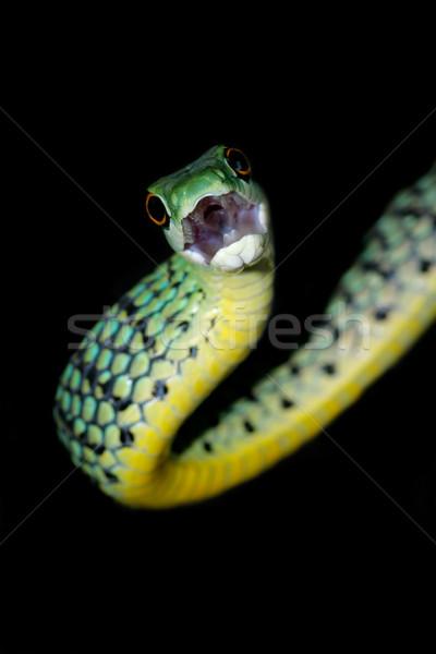 Spotted bush snake Stock photo © EcoPic