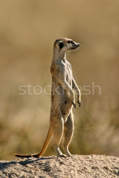 Meerkat on guard  Stock photo © EcoPic