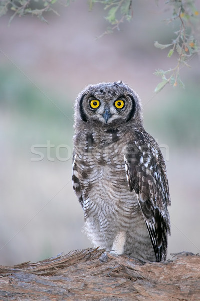 Spotted eagle-owl Stock photo © EcoPic