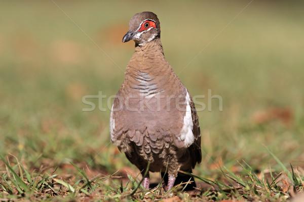 Partridge pigeon Stock photo © EcoPic